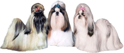 Breeder Referral Looking For A Shih